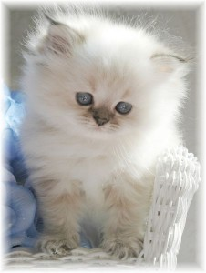 cbc0b18702 White Kitten