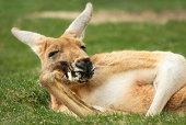 162136091 kangaroo