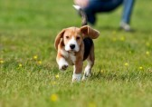 19250153-running-beagle-puppy-with-flying-ears-at-the-walk