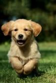 9661943-golden-retriever-puppy-running-in-a-garden