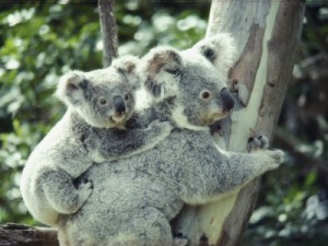 keiser-anne-a-koala-bear-hugs-a-tree-while-her-baby-clings-t