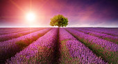 166244469purple fields