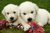 3075795-golden-retrievers-puppies