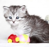 22316646-puppy-of-siberian-cat-with-toys