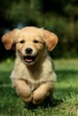 9661943-golden-retriever-puppy-running-in-a-garden