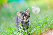 Little kitten on the grass near dandelion